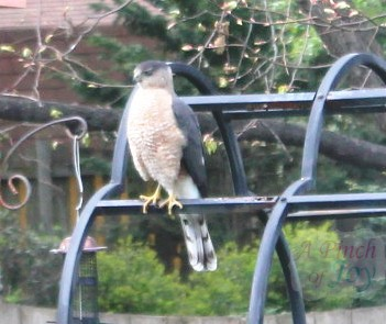 Coopers Hawk setting on arbor