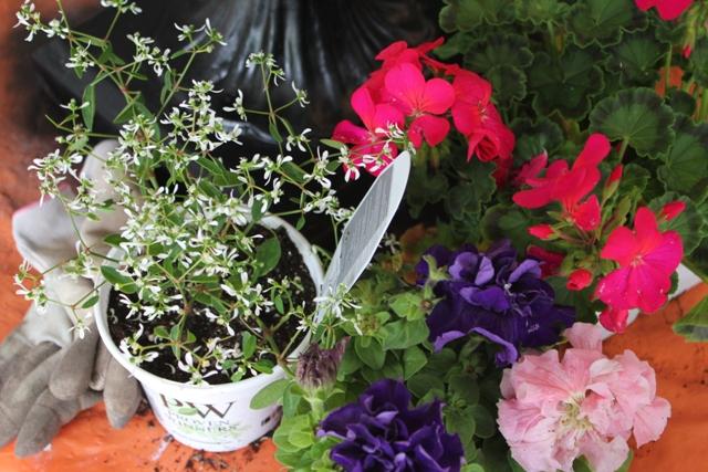 Spring and euphorbia graminea