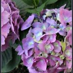 5 Tips for Planting Hydrangeas A Pinch of Joy