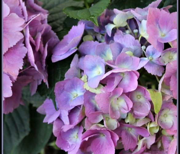 Five tips for planting hydrangeas