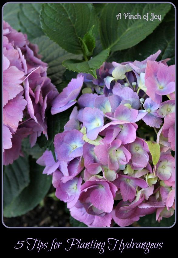 5 Tips for Planting Hydrangeas A Pinch of Joy