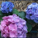 Hydrangeas Pink and Blue