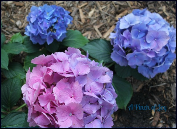 Hydrangeas Pink and Blue