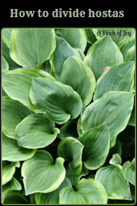 How to Divide Hostas -- A Pinch of Joy