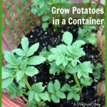 Grow Potatoes in a Container--APinchofJoy