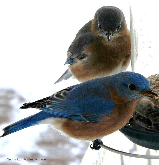 Bluebirds at feeder