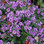 Monarch butterflies migrating -- blue asters attract them